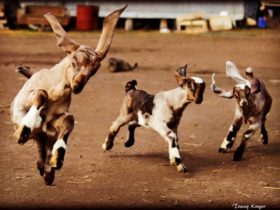 Glenafton Goat Soap