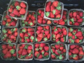 Strawberries ready for delivery