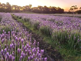 Lavender rows in field at dusk in Portarlington on the Bellarine Peninsula