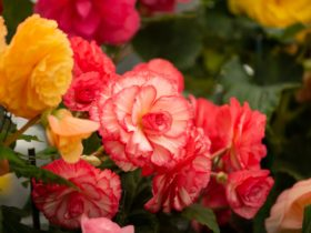 yellow/orange, pink and white Begonias