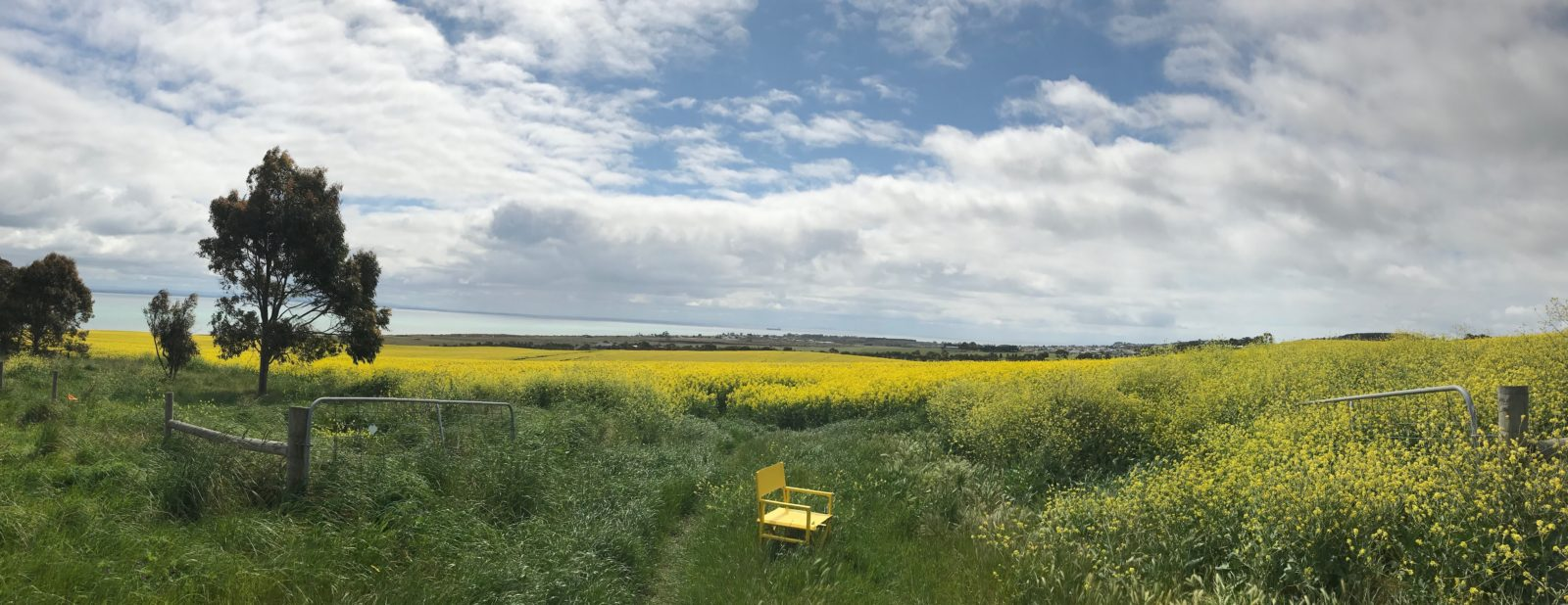 North Bellarine Film Festival's yellow chair in the canola fields of the Bellarine Peninsula .