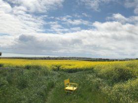 North Bellarine Film Festival's yellow chair in the canola fields of the Bellarine Peninsula .