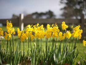 Jonquils by Post and Rail