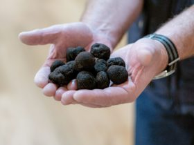 two hands full of French Black Perigord truffles