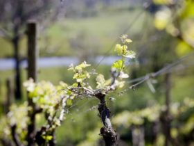 Generic vine image