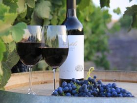 A bottle and two glasses of wine, with some shiraz grapes lying on a barrel in from of grapevines