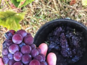 Brown Muscat Grapes which are used to make fortified muscat