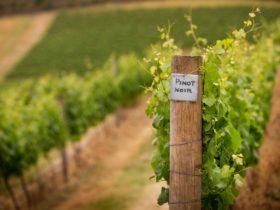 Lance's Vineyard established 1976