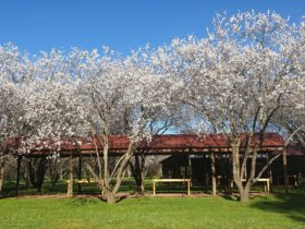 Spring almond blossoms in the outdoor dining area of The Watchbox