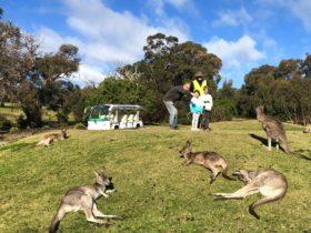 Tour guide, bus and kangaroos