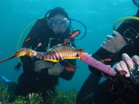 Scuba Dive with Weedy Seadragons