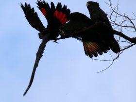 Red Tailed Black Cocaktoo