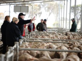 Katanning Regional Sheep Saleyards, Katanning, Western Australia