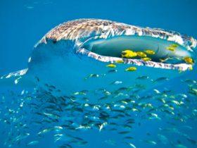 Ningaloo Whaleshark n Dive, Exmouth, Western Australia