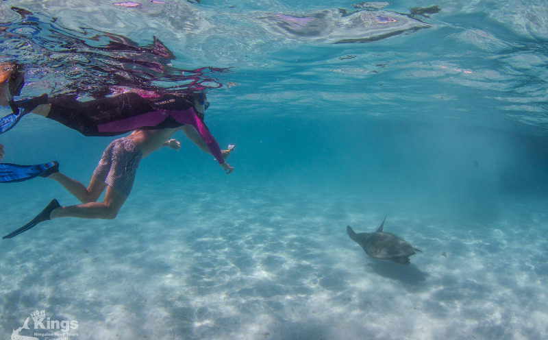 Snorkelling with Turtle - Kings Ningaloo Reef Tours